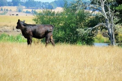 Barwon River Frontage - 61.9 ha - 153 acres (approx.)