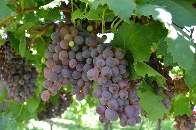 Bio-Dynamic and Organic Winery and Vineyard in Sunraysia MurrayRiver Region