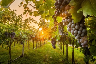 Winery in Yarra Valley (Freehold with Accommodation)- Ref: 13129