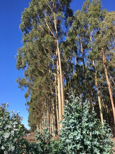 Blue Gum Forestry Farm near Albany WA